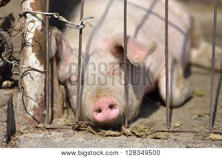 Picture Of Piglet Sleeping Behind Metal Cage Tied With Wire At A Farm In A Sunny Summer Day.
