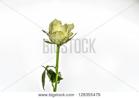 One Rose  On A White Background