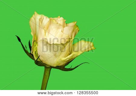 Rose Yellow Green Background