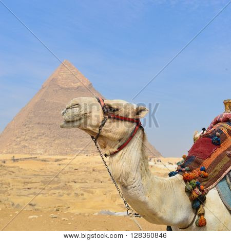Giza Pyramids and camel in Cairo, Egypt