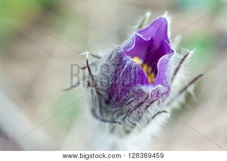 spring flower plant sleep-grass, snowdrop Pulsatilla Patens closeup