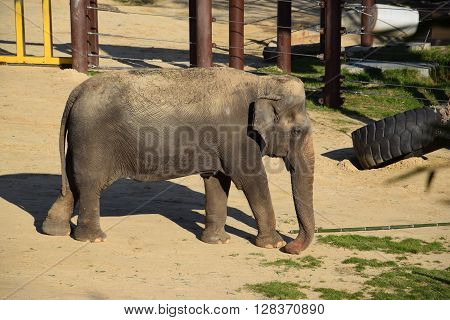 Large Majestic Elephant Roaming in the Wild