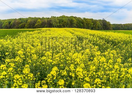 Oil Seed Rape Field In Poland, Silesia.