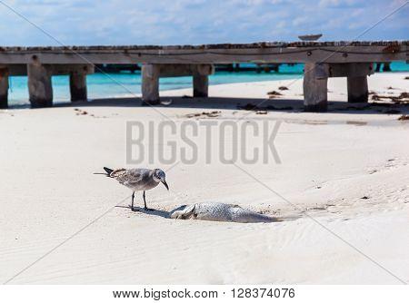 Seagull bird eating dead rotten fish on sandy beach