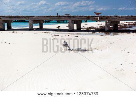 Seagull Bird Eating Dead  Fish On Beach