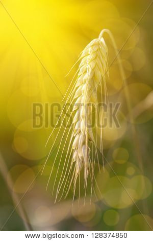 Wheat field close up on spikelets. outdoors