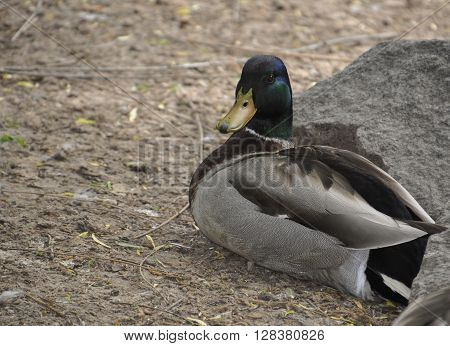 mallard duck sitting on the ground under a stone