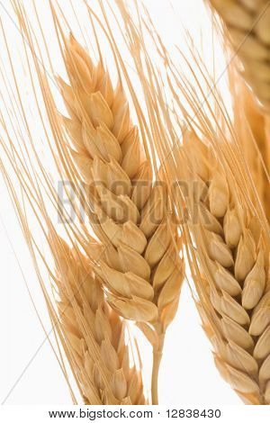 Close up detail of dried wheat.