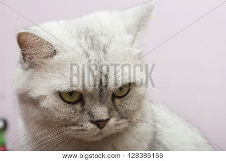The big gray cat looks with self-respect