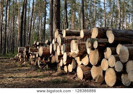 Pile of pine logs, industrial tree felling