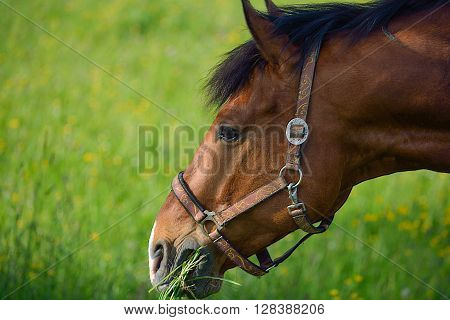 Seal Brown Horse On A Meadow Eating Grass