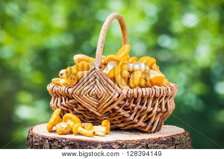 Chanterelles In Wicker Basket On Forest Background