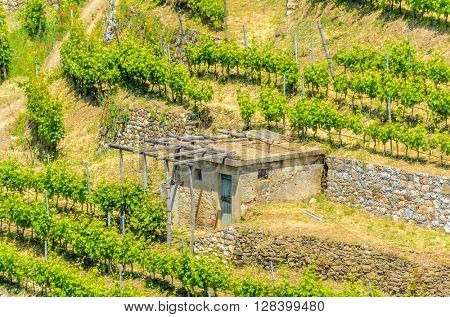 Landscape with vines on the hillside in the National park of Cinque Terre, Italy