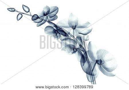 X-ray Image Of A Flower Isolated On White , The Orchide