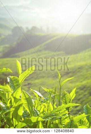 Fresh tea leaves at plantation in Malaysia.