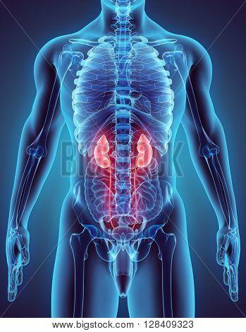 3D Illustration Of Urinary System.