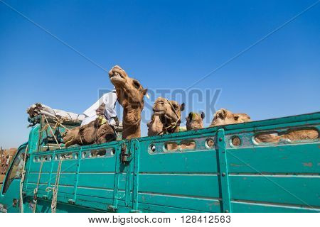 DARAW, EGYPT - FEBRUARY 6, 2016: Camels loaded on the back of the truck at Camel market.