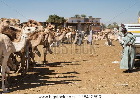 DARAW, EGYPT - FEBRUARY 6, 2016: Local camel salesman standing by pick up truck at Camel market.