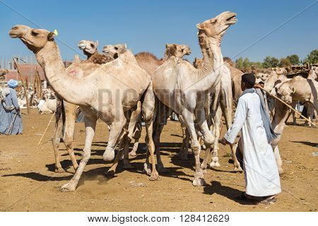 DARAW, EGYPT - FEBRUARY 6, 2016: Local young camel salesmen on Camel market using stick to control them.