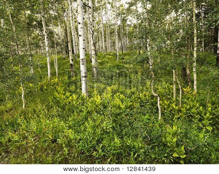 Lush forest with Aspen trees.