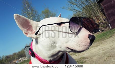White English bullterrier in sunglasses in nature