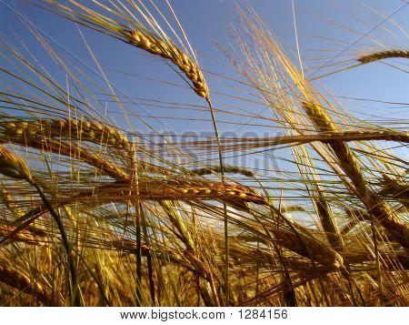 Barley Field 3