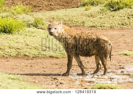 A hyena standing on the Serengeti in Tanzania, Africa,