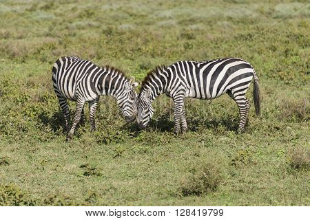 Two zebras grazing on the Serengeti in Tanzania, Africa