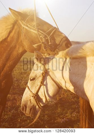 Two Horses Touching And Bonding With Each Other Concept