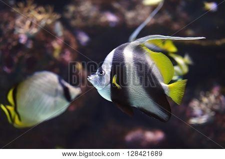 Saltwater fish Pennant Coralfish or Longfin Bannerfish Heniochus acuminatus inside aquarium