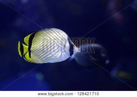 Sea life Vagabond Butterfly fish Chaetodon vagabundus inside aquarium