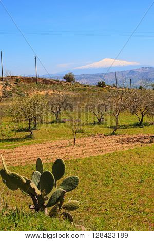 View of olive trees Etna volcano on the background