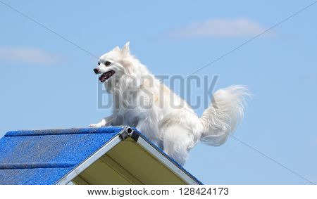 American Eskimo Dog Climbing Over an A-Frame at Dog Agility Trial
