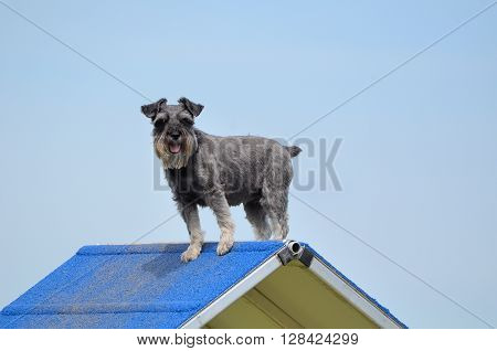 Miniature Schnauzer on an A-Frame at Dog Agility Trial