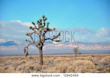 Joshua tree National Park or Yucca tree