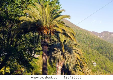 palm trees at sunset in a Park in Abkhazia
