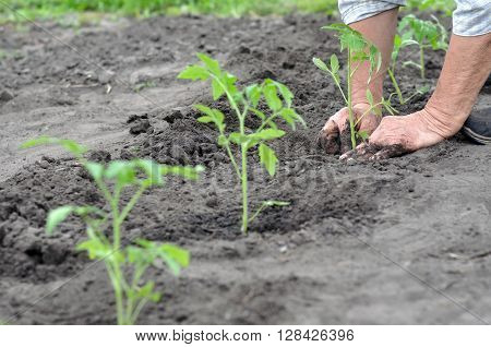 farmer planting a tomato seedling in the vegetable garden