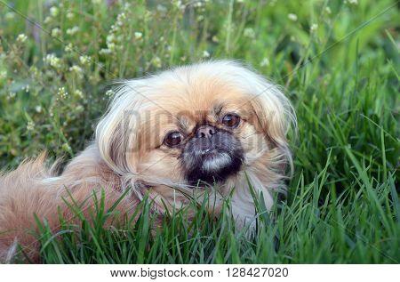 Pekingese dog