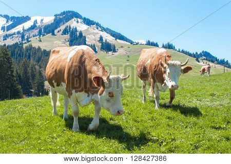 Swiss cows on pasture. Cow in alpine landscape. Cows on mountain pastures.