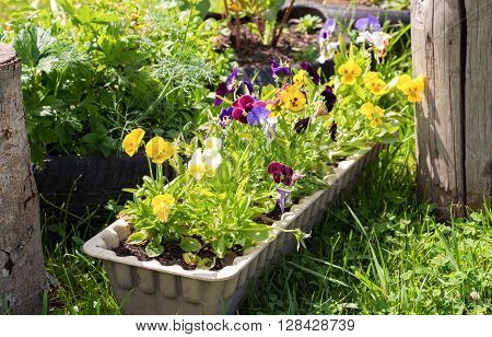Beautiful Pansies or Violas growing in spring garden. Garden decoration
