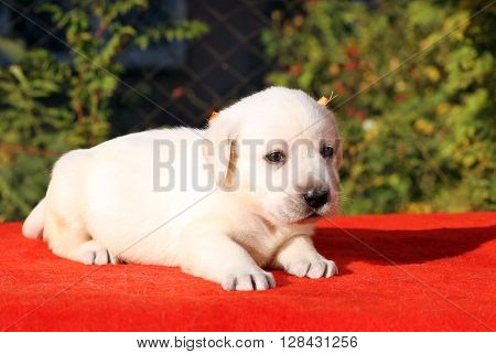 The Yellow Happy Labrador Puppy On Red Portrait