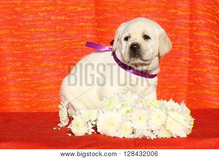 The Yellow Happy Labrador Puppy On Red With Flowers