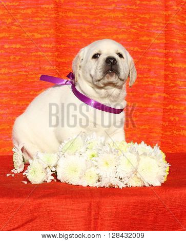 Yellow Happy Labrador Puppy On Red With Flowers