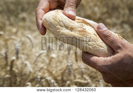 Hands holding white wheat bread with wheat in the background with copy space.