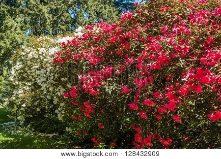 A view of large white and red Azalea bushes.