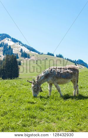 Donkey in a pasture in the mountains. Mountain pastures in Switzerland. Young donkey at eating the grass.