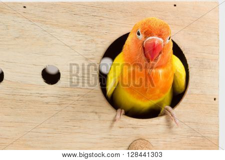 Double Yellow Lovebird