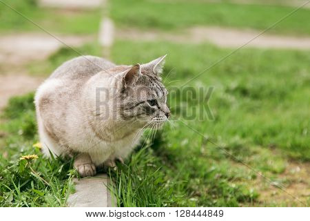 Domestic grey cat sitting on the grass and looking right, copy space