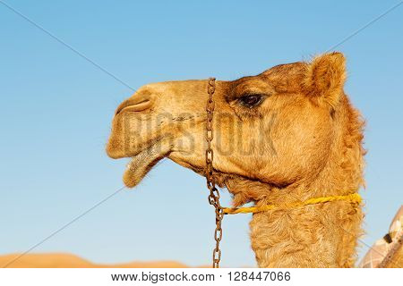 In Oman Empty Quarter Of Desert A Chain