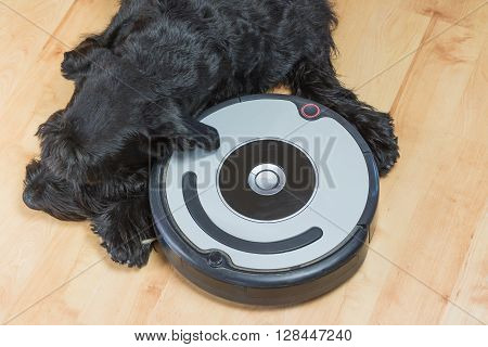 Aerial view of the Giant Black Schnauzer dog lying next to the robotic vacuum cleaner on the floor. All potential trademarks and control buttons are removed.